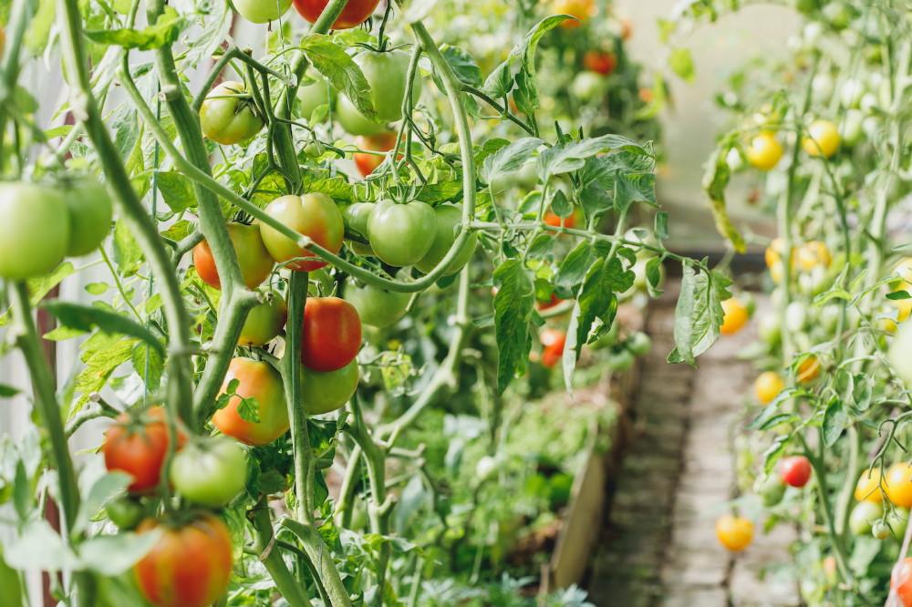 w jakim okresie sadzic warzywa w przydomowej szklarni - W jakim okresie sadzić warzywa w przydomowej szklarni?